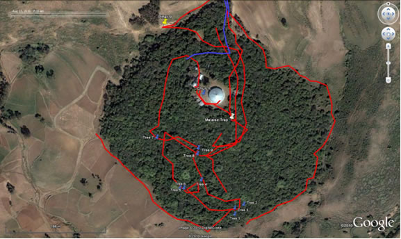Figure 1. Ethiopian Church forest, Debresna study site. Sample trees and distance from the edge are highlighted and indicate position where Berlese samples were collected.